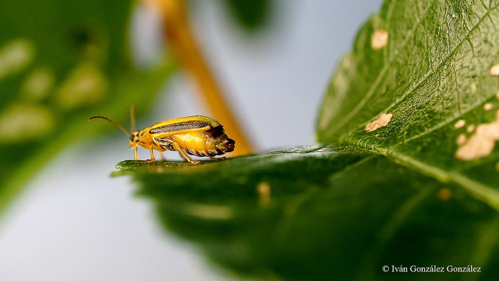 Xanthogaleruca luteola