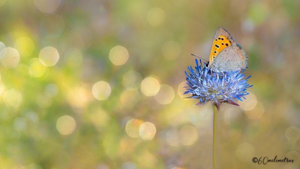 Mariposa manto bicolor o Lycaena phalaeas