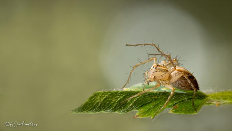 Araña lince y una chinche de escudo