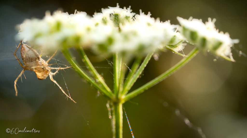 Araña lince (Oxyope sp)