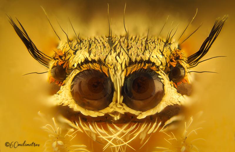 Araña saltarina y el macro extremo