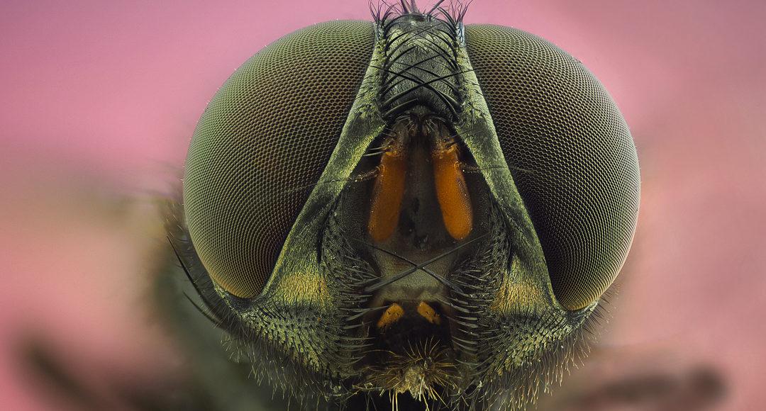 Por qué dicen que las moscas son feas?