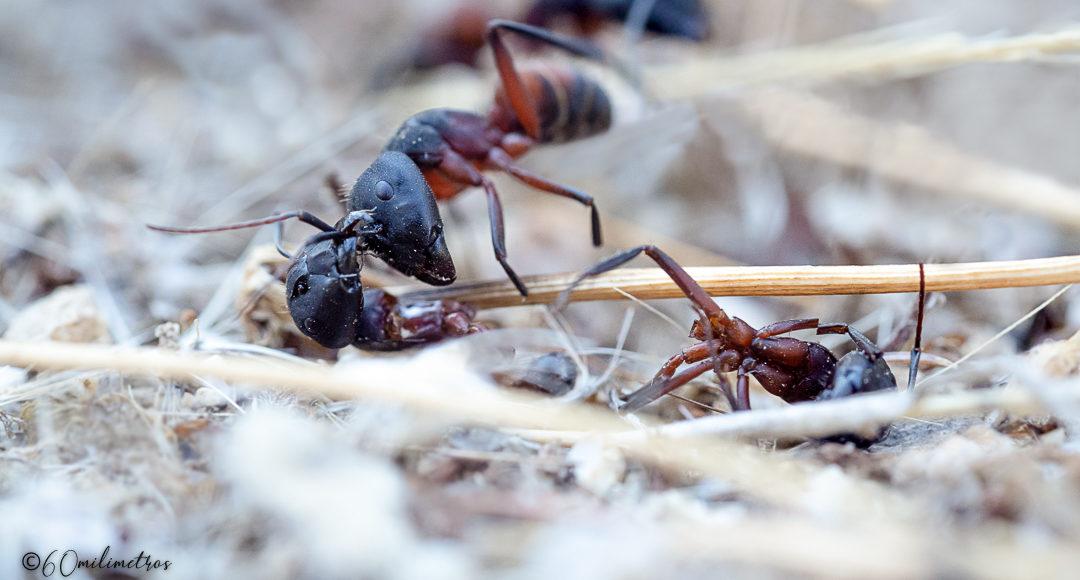 Camponotus, hormigas asesinas